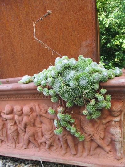 Sempervivum und römische Puten